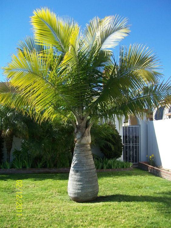 Jenis Pohon Palem Hias Yang Banyak Di Cari Desain Rumah Online