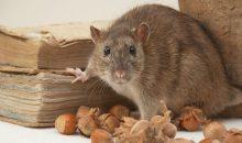 Tips Alami Dan Ampuh Mengusir Tikus Di Rumah Dengan Bau-bauan